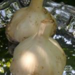 Белый лотос