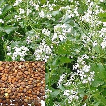 u-maslichnoy-redki-ne-korneploda-a-tolko-cvety-i-semena