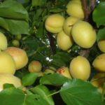 Abrikos-ananasnyj-preimushhestva-vyrashhivaniya-v-fruktovom-sadu