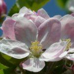 tree-branch-blossom-plant-flower-petal-bloom-spring-botany-pink-flora-wildflower-shrub-beautiful-apple-tree-macro-photography-apple-blossom-flowering-plant-land-plant-1156067