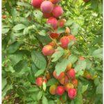 sliva-persikovaya-na-vetke