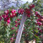 vetvi-slivy-persikovaya