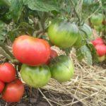 tomat_Mongolskiy_karlik_11_25144244