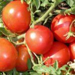 tomat_Mongolskiy_karlik_17_16153845