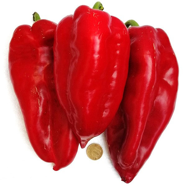 Giant Turkish Red