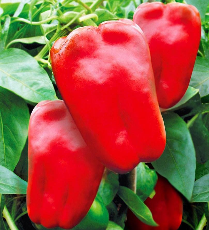 Aquilegia vulgaris Winky F1 Red & White