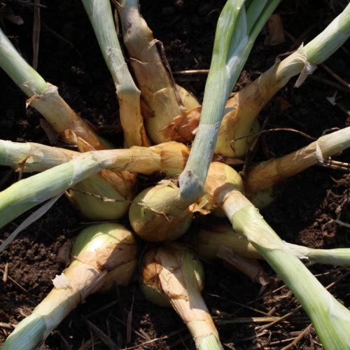 Крупноплодный лук-шалот
