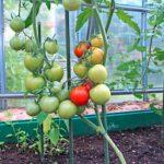 pomidory-v-teplitse-scaled