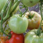pomidor-vareniki-1