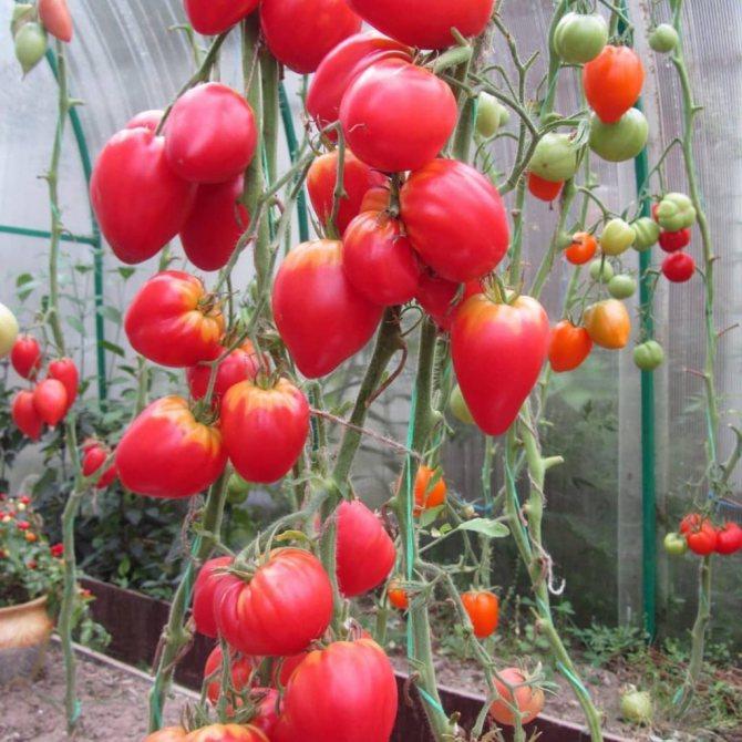 tomat-nemeckaya-krasnaya-klubnika-na-vetke
