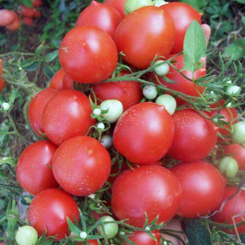 tomato-bunchplum-01