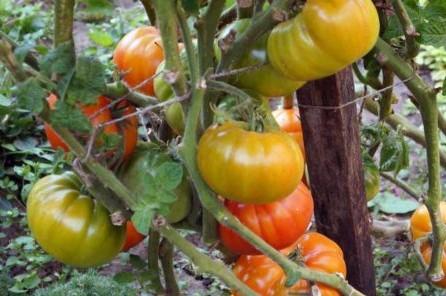 pomidor-keytidid-2-600x400