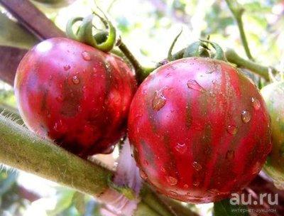 semena-tomata-fioletovyy-shmel-fioletovaya-yashma-1-13026419