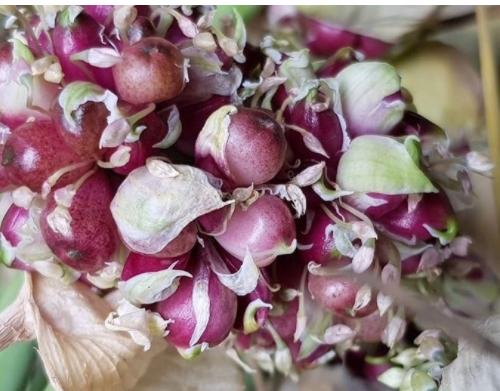 Посадочный материал чеснока: воздушные луковицы (бульбочки)