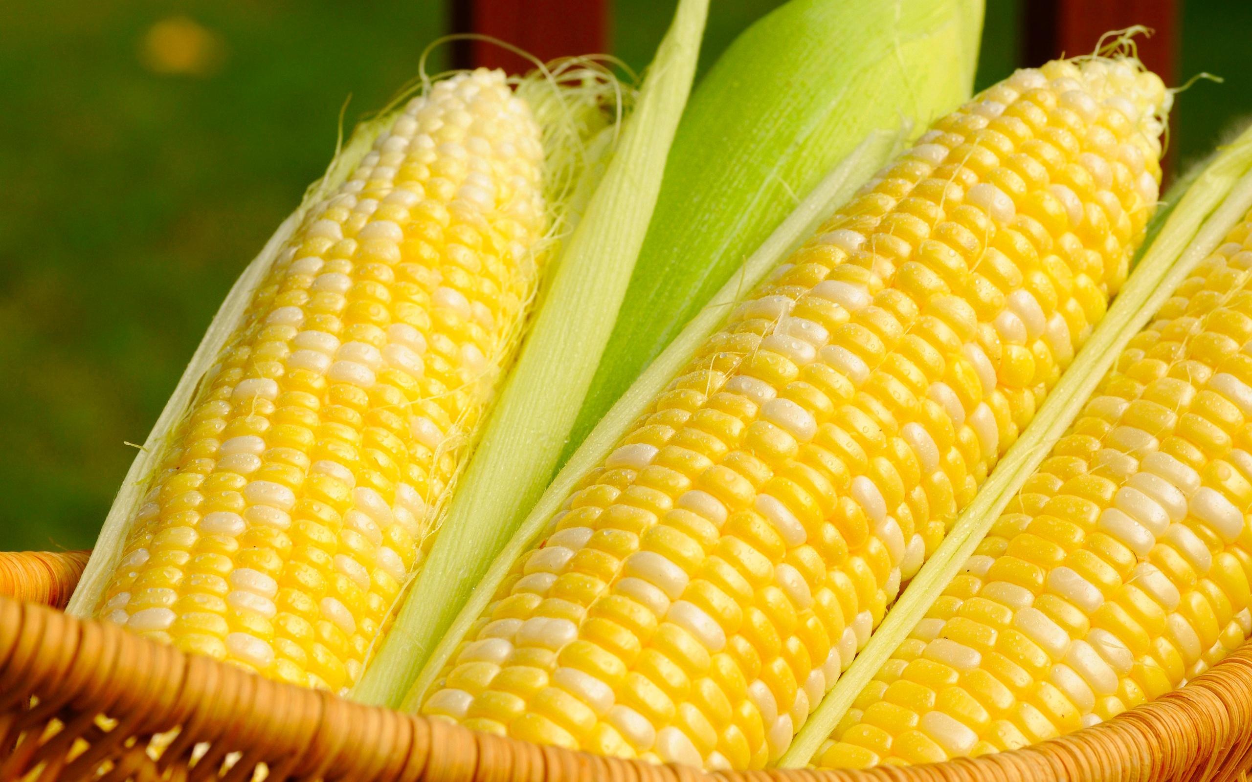 kukuruza-pochatok-korzina-zerna